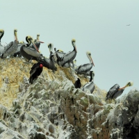 Pelicans and turkey vultures at Islas Ballestas